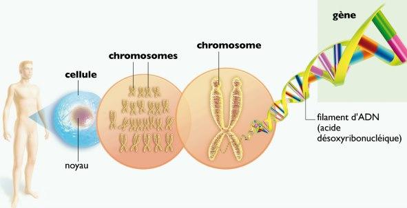 La cellule et l'ADN